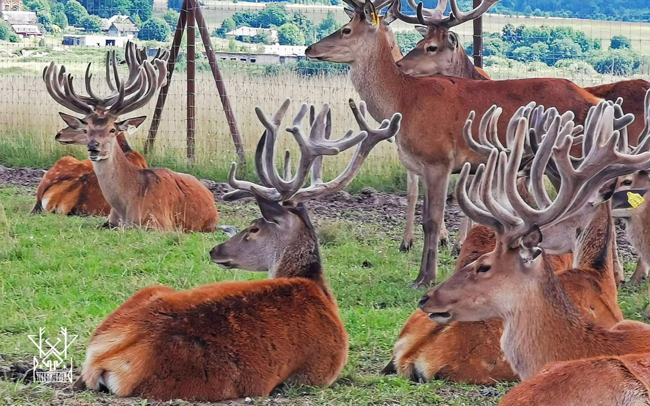 2-3 летние самцы благородного оленя. Лучший выбор для покупки племенного оленя!